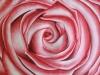 Rose (zu verkaufen)